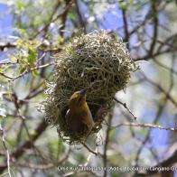 Dokumacı Kuşu (Rüppell's weaver)