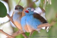 Red-Cheeked Cordon Blue