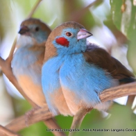 Red-Cheeked Cordon Blue