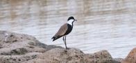 Spur-Winged Plover (Yağmur Kuşu)