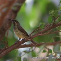 Long-biilled pipit (uzun gagalı incir kuşu)