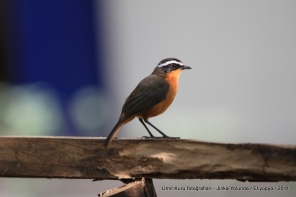 European Redstart