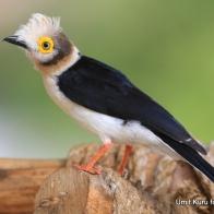 White-crested Helmet-shrike (Beyaz İbikli Örümcek Kuşu)