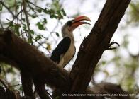 kırmızı gagalı guguk kuşu (hornbill)
