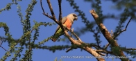 African Orange-bellied Parrot