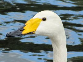 800px-Cygnus_cygnus_-Regents_Park,_London,_England_-head-8