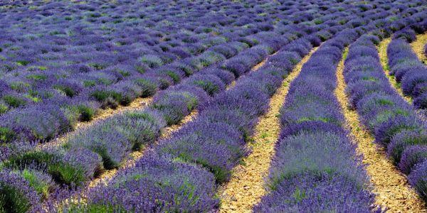 lavandula-angustifolia-vicenza-blue-o9930-1.jpg